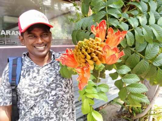 Spatodea zvonkovitá - Spatodea zvonkovitá (Spathodea campanulata) je tropický strom z čeledi trubačovité. Je to jediný druh rodu spatodea. Dorůstá výšky až 35 metrů, má zpeřené listy a nápadná květenství velkých, oranžových, zvonkovitých květů. Pochází z tropické západní Afriky a je pěstován jako okrasná dřevina v tropech celého světa. Květy mají zajímavou biologii opylování. Druh pochází z tropické západní Afriky, odkud přesahuje do Konga a Angoly. Roste v sekundárních a opadavých lesích a v řídké stromové vegetaci na savanách, v nadmořských výškách do 2000 metrů.