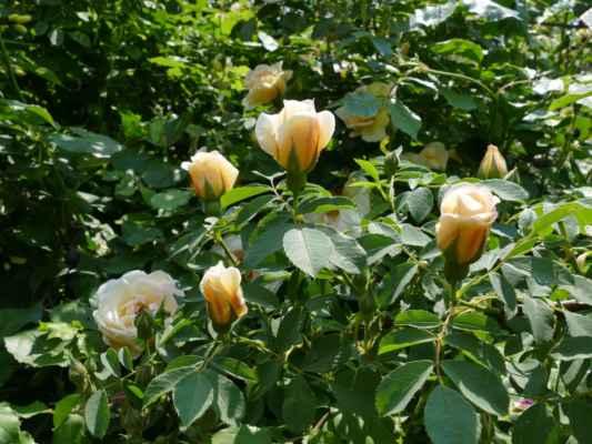 ... a přilákala vůně a krása růží ....