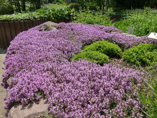 ... kromě vůně mateřídoušky je příjemné slyšet bzukot včel ....