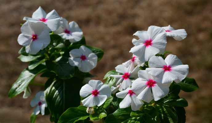 22.08.2018 - Barvínkovec (Barvínek), Katarant - Catharanthus roseus neboli vinca rosea, Sadabahar