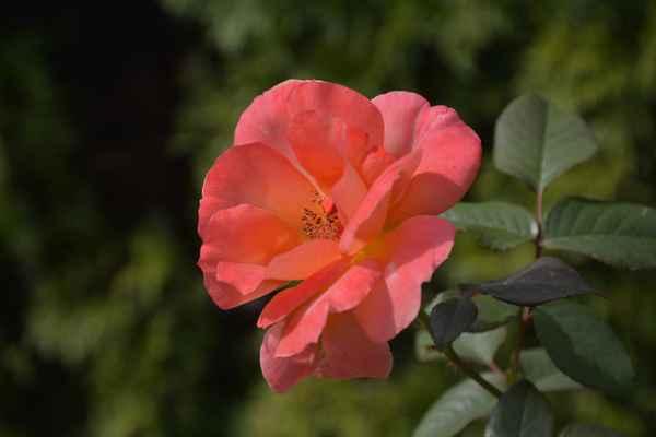 30.08.2018 - s vyfocením květu růžičky jsem nesměla otálet, rychle v tom srpnovém suchu a horku odkvétal