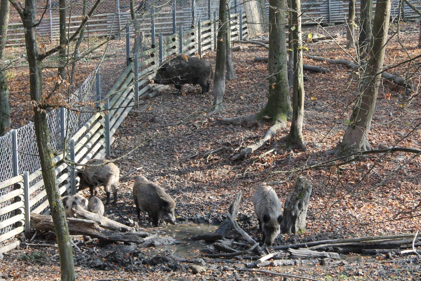 Divoká prasata jsou bezpečně uzavřena ve vlastní ohradě.