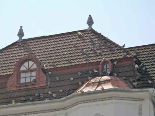 holubi v Karviné-Fryštátu
