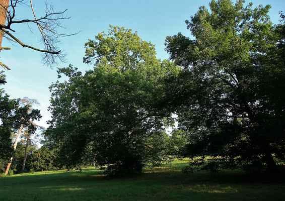 Na stráni pod Rybničním zámečkem - Rostou tady krásné stromy - jedním z nich je tento obrovský platan