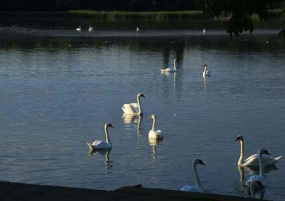 Série Labutí jezero - Letos je na všech rybnících přelabutíno