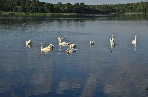 Série Labutí jezero - Zajímavé, že jsou tady jenom dospělé labutě...
