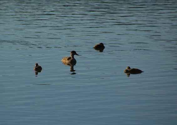 Série Labutí jezero - Tak aspoň mladé kachničky (polák malý))