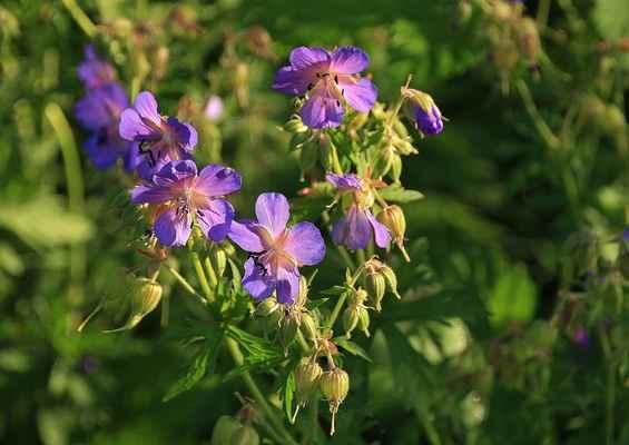 Letní kvetení 4a - Překrásný kakost luční