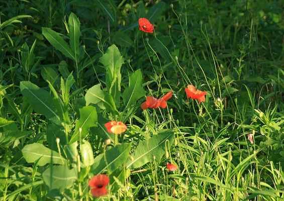 Letní kvetení 5 - A ve stínu ještě kvete vlčí mák