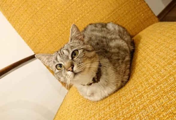 26.5.2021 - Coco je zpátky v depozitu. V novém domově se chovala jako doma, ale domácí kočička situaci nezvládla, nežrala a zvracela ze stresu, odmítala opustit místnost. U nás je Coco nešťastná, chodí po vyvýšených místech, zdržuje se na kuchyňské lince a NALÉHAVĚ HLEDÁME DOMOV!